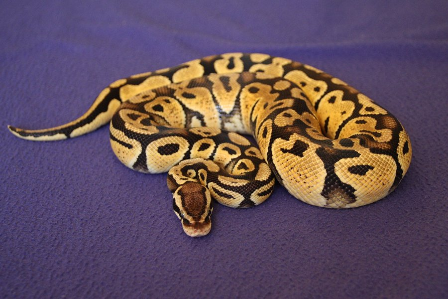Getting Started With Your Royalball Python