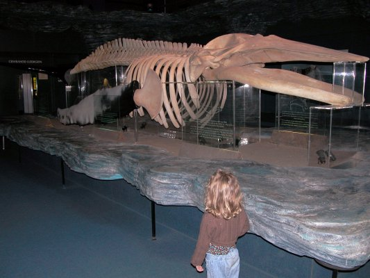 Whale shark skeleton